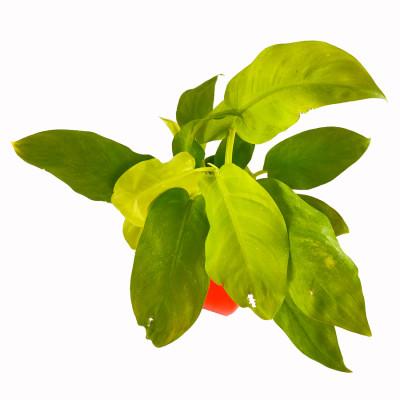 Philodendron Ceylon Golden Plant