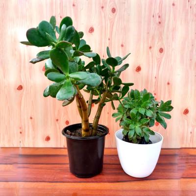 Combo of Succulent Jade Bonsai & Succulent Plant