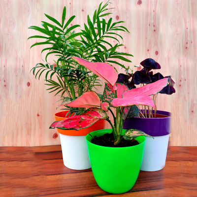 Combo of Oxalis Butterfly + Chamaedorea Palm + Pink Aglaonema Plant