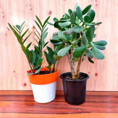 Combo of Succulent Bonsai & ZZ Plant