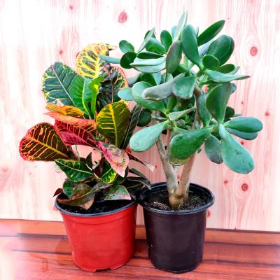 Combo of Succulent Bonsai & Croton Plant