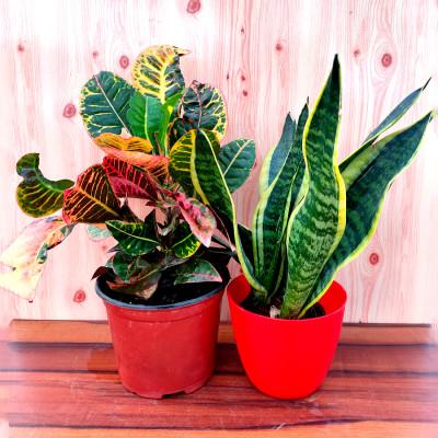 Combo of  Snake - Sansevieria Trifasciata & Croton Plant
