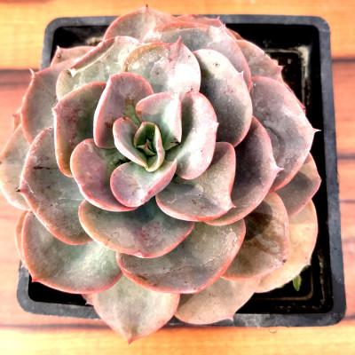 Echeveria, Echeveria derenbergii - Succulent Plant