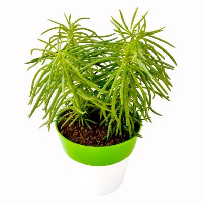 himalaya Plant