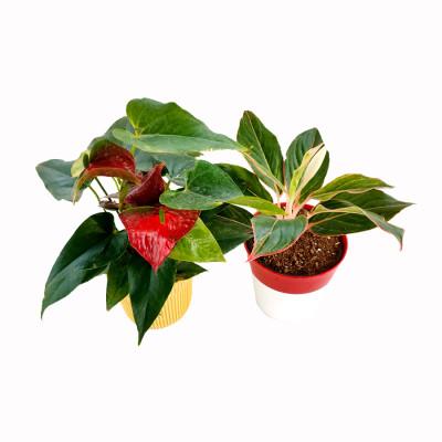 Combo of Anthurium China Red & Agloanema Lipistic