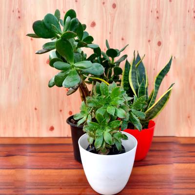 Combo of Lenophyllum acutifolium - Succulent + Snake + Succulent Bonsai Plant