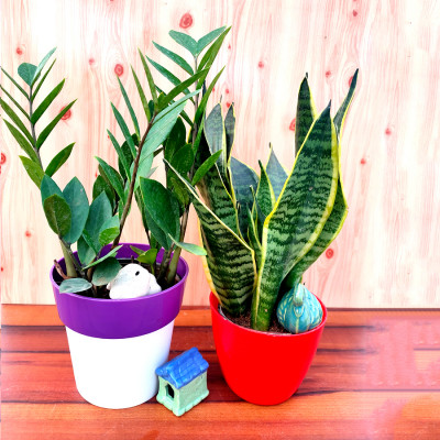 Combo of Snake - Sanseviera Trifasciata  & ZZ Plants