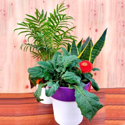 Combo of Chamaedorea Palm + Gerbera - Perennial Flower + Snake - Sansevieria Trifasciata Plant