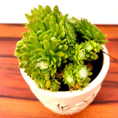 Lakshmi Kamal - Succulent Plant