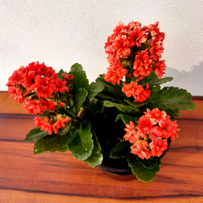 Kalanchoe (Red) - Plant