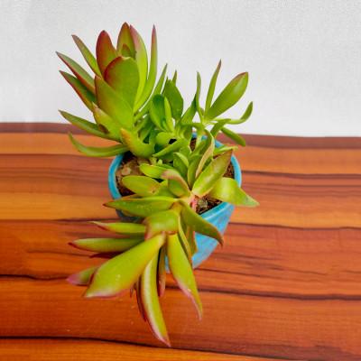 Crassula Campfire - Succulent Plant