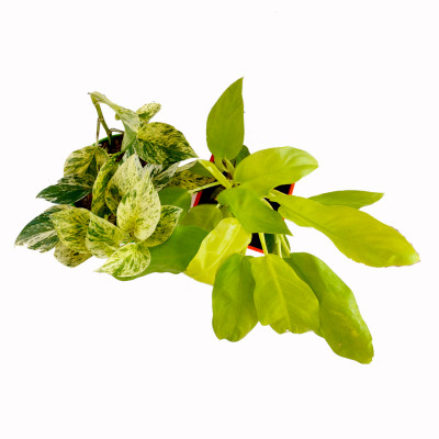 Combo of Philodendron Ceylon Golden & Marble Money Plant