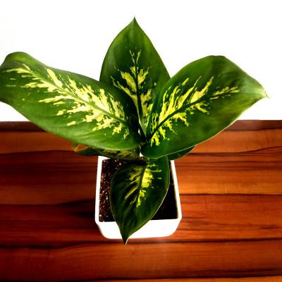 Dieffenbachia Sparkles - Plant