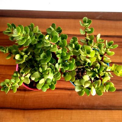 Combo of Jade Plant