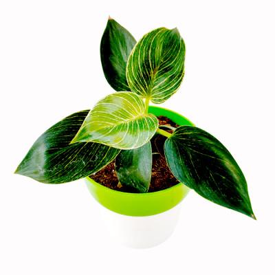 Philodendron Birkin Plant