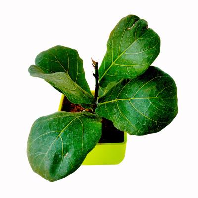 Ficus Lyrata - Fiddle Leaf Plant