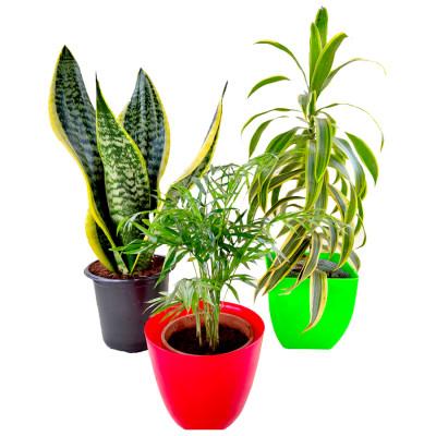 3 Best Indoor Plants Pack