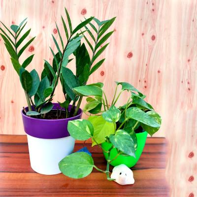 Combo of Moneyplant  & ZZ Plants