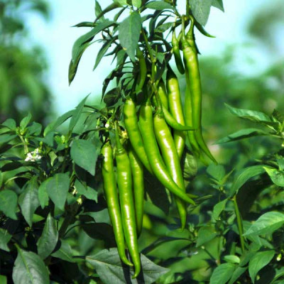 Chilli Surajmukhi - Vegetable Seeds