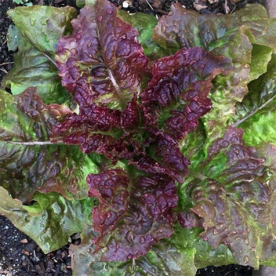 Lettuce Prize Head Vegetable Seeds