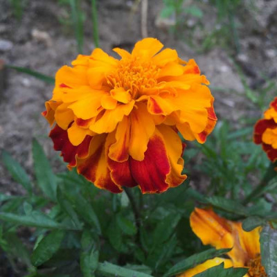 Marigold F 2 Orange Dwarf Double Flowering Seeds