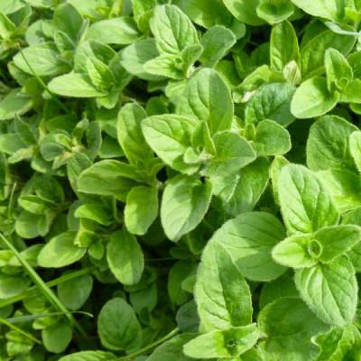 Oregano Herb Seeds
