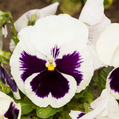 Pansy F1 White Blotch Flowering Seeds