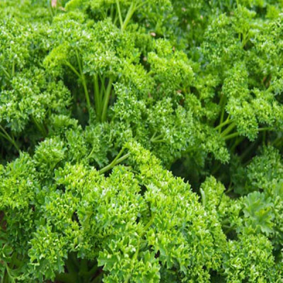 Parsley Forest Green Vegetable Seeds