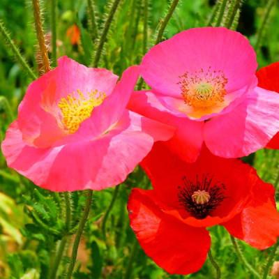 Poppy Shirley Red Flowering Seeds