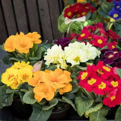 Primula Selection Mixed Color Flowering Seeds
