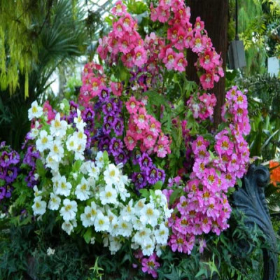Schizanthus Angel Mixed Color Flowering Seeds