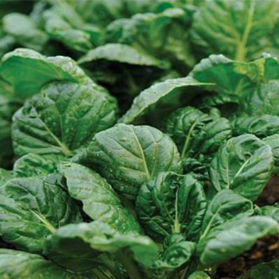 Tatsoi Spinach Mustard Green Vegetable Seeds