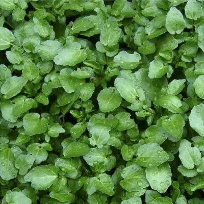 Water Cress Herb Seeds
