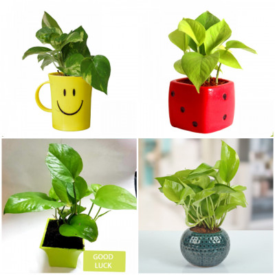 Combo Of Attractive Money Plant