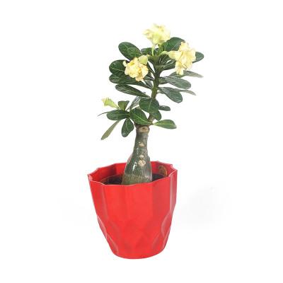 Adenium Multi Petal (Lemon Yellow) Plant