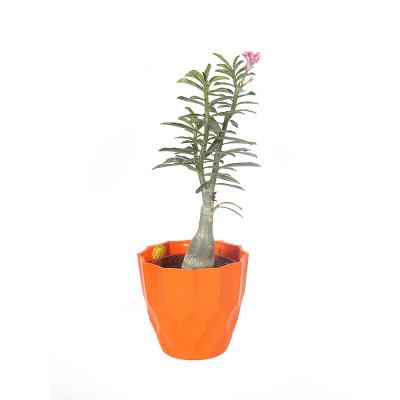 Adenium Multi Petal (Pink ) Plant