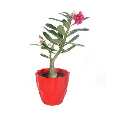 Adenium Multi Petal (Red) Plant