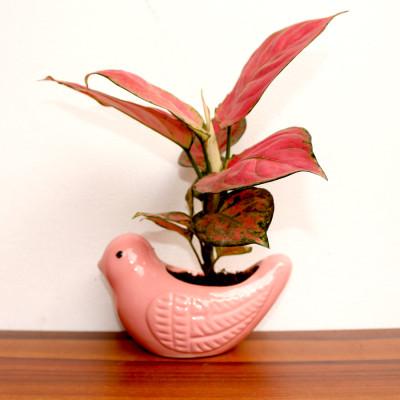 Aglonema Pink Plant