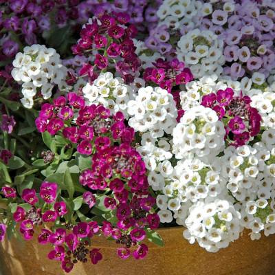 Alyssum Mix Flowering Seeds