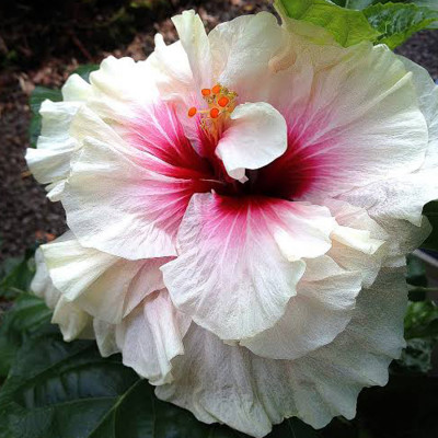 Americans Hibiscus Red & White Shade Double Petel Flower Plant