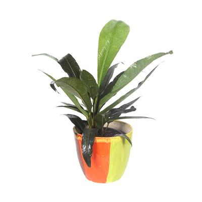 Exotic Anthurium jenmanii Foliage