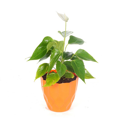 Anthurium White Plant