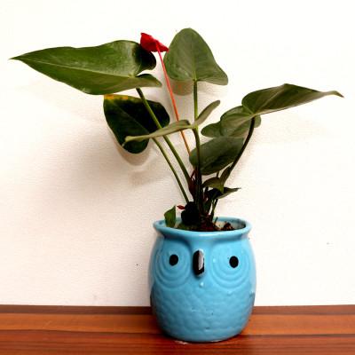 Anthurium Pink Plant