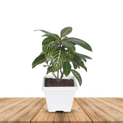 Aphelandra Squarrosa - Zebra Plant