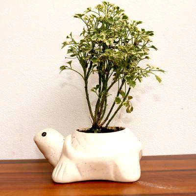 Aralia Miniature White Plant
