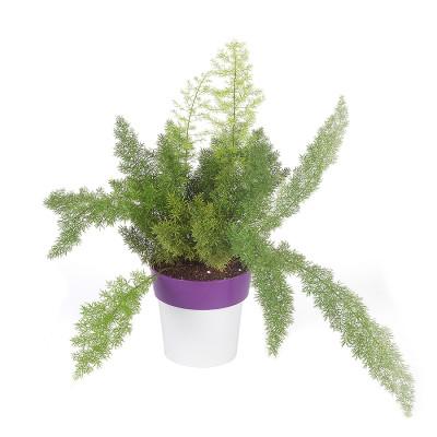 Asparagus Foxtail - Fern