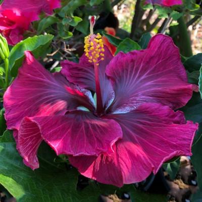 Australia Hybiscus Purple & Pink Shade Plant