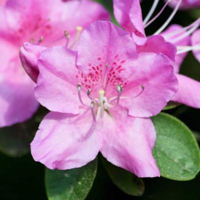 Azalea Purple Color flower Plant