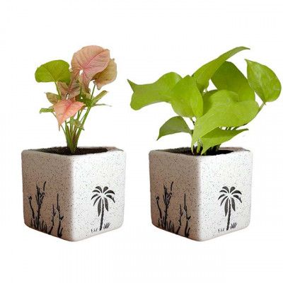 Combo of Money and Syngonium Plant