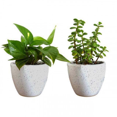 Combo of Jade and Money Plant with Ceremic Planter